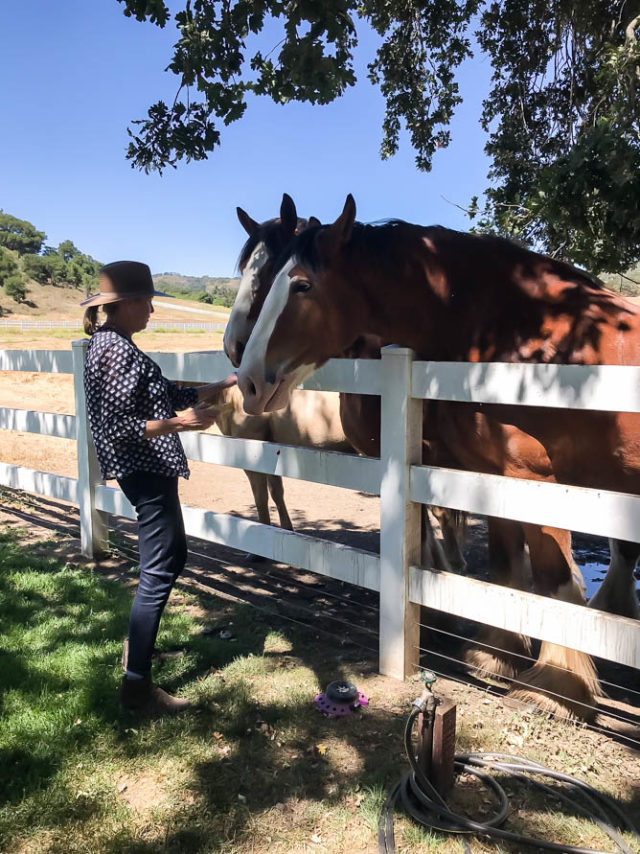 Folded Hills owner Kim Busch stops to feed the Clydesdales.