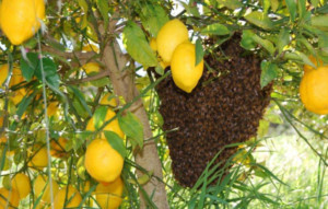 A lemon tree with a beehive.
